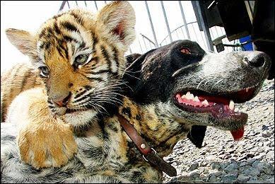 [baby_tiger_hugs_dog.jpg]