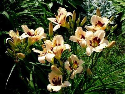 сроки-цветения-многолетников