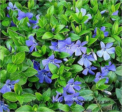 В мае июне его ярко синие цветы очень