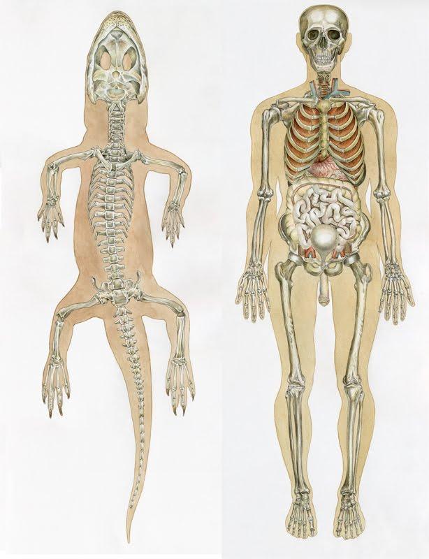 Montse Rubio Blog: Anatomía Comparativa / Comparative Anatomy