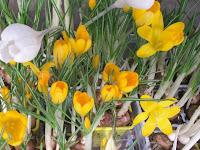 los crocos o crocus florecen entre febrero y abril y pueden mantenerse sin dificultad en el exterior ya que son muy resistentes a las bajas