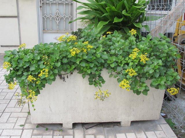 Plantas y flores senecio angulatus for Una planta ornamental