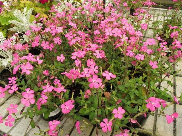 Plantas jardin silene pendula dise o y decoracion de for Plantas decoracion de jardines de casas