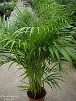 Plantas y flores palmeras de interior - Tipos de palmeras de interior ...