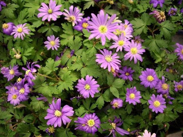 Plantas y flores anemone blanda for Las plantas ornamentales y sus nombres