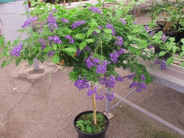 Plantas y flores duranta repens for Arboles plantas y flores