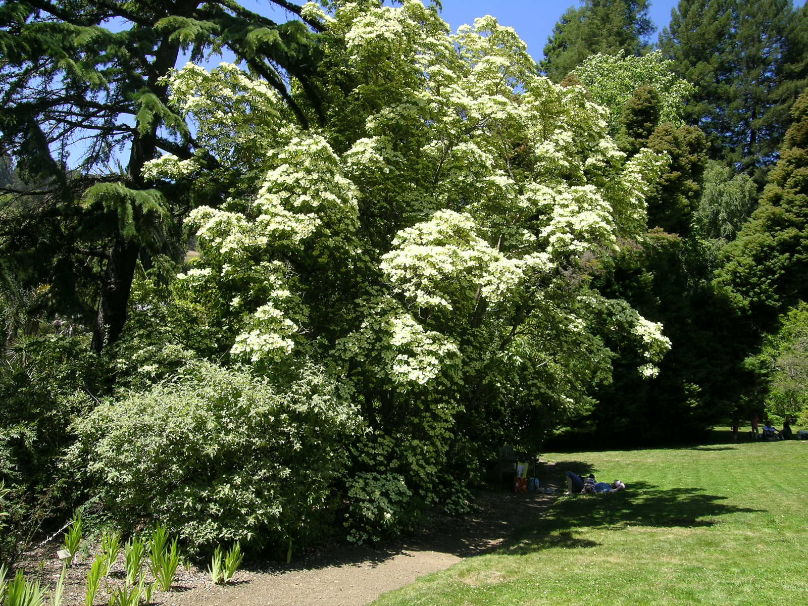 Berkeley butterfly blog cornus capitata evergreen dogwood for The evergreen