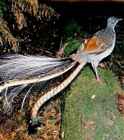Le saviez-vous ? Les prouesses vocales de l'Oiseau Lyre ! Lyrebird-oiseau-lyre-1