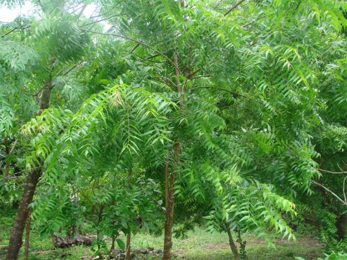 """the neem tree explanation Persian scholars called neem """"azad dirakht-i-hind,"""" meaning the noble or free tree of india the neem tree is also neem in the history/ neem and india."""