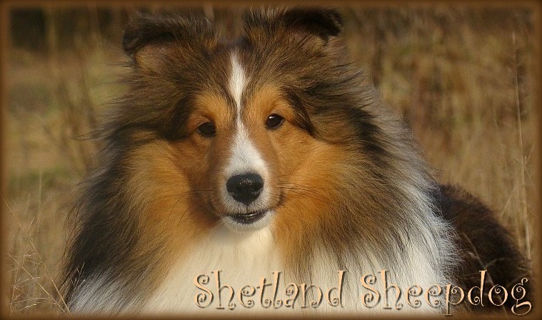 Shelties kennel