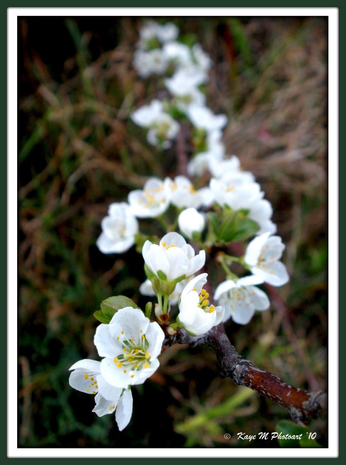 "Flower Magic by ""Kaye M"" Flowering Fruit Trees white blossums"