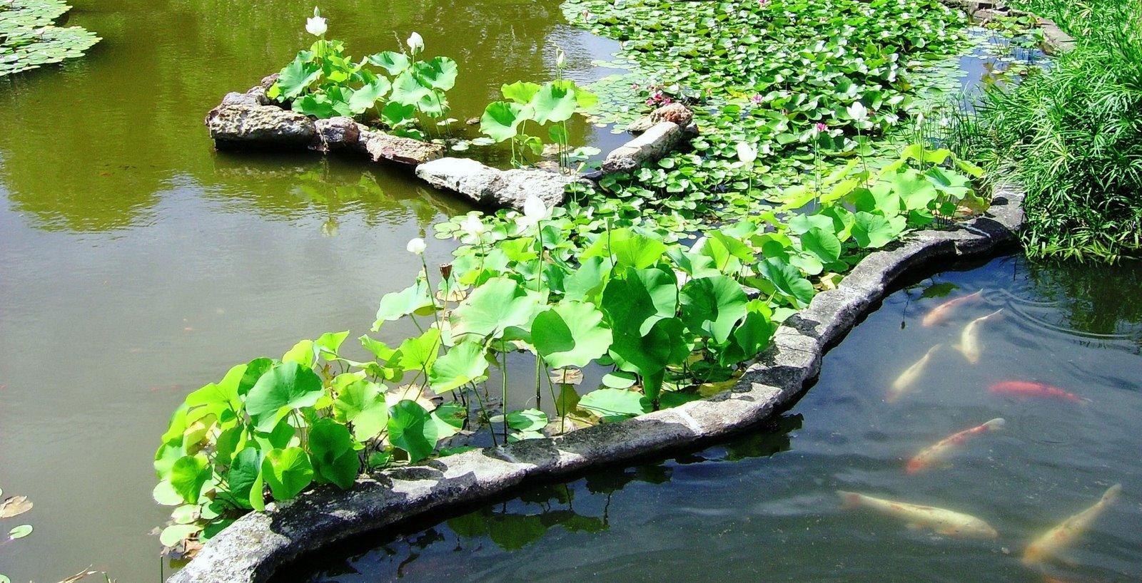 Kj kaye and jose amazing photos waterlilies around for Koi fish pond sydney