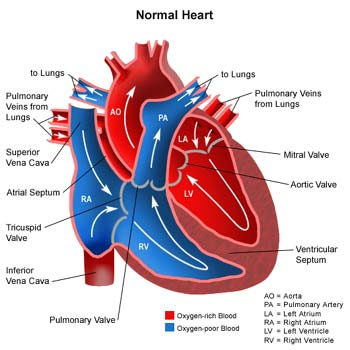 Human Cardiac And Respiratory Systems Describe The Structure Of The