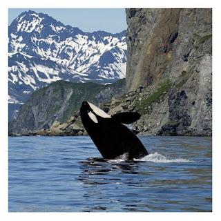 Orca en su ambiente natural en el mar rodeada de montañas