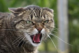 gato bufando