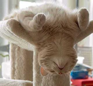 gato durmiendo de espalda
