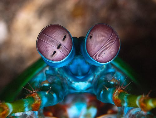 Udang Mantis