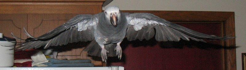 Parrot Musings
