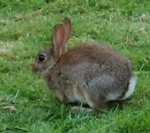 Doune Rabbit