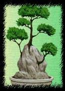 Стиль обнявшие камень бонсай