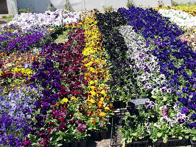 These Pansies were arranged by colour. Which would you pick?
