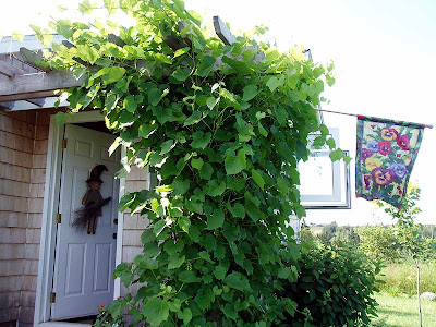The grapevines love having the arbor to climb on.