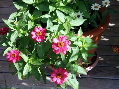 These are the first Zinnias I have ever grown and they seem to be doing very well.