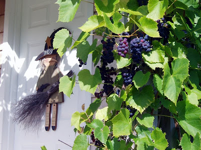 Here are the grapes last year, still on the vine and ready to harvest .