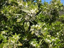 Naranjos y su flor de azahar