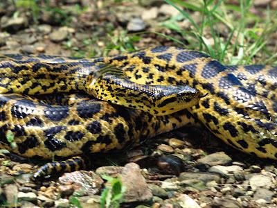 snake wallpapers. anaconda snake