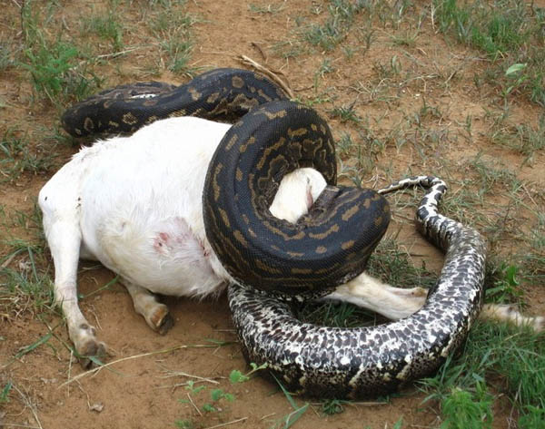 Anaconda Snake Wallpapers and photos,pictures. Anaconda Eat Man,goat ...