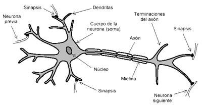 Veganimal - Tu sitio web de biologia! - 3.1.1- coordinacion y sistema ...