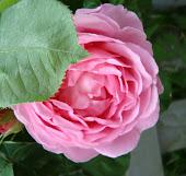 Se mine roser her