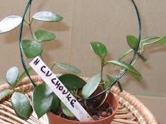 Hoya cv chouke