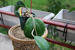 Hoya loceandrewsiana