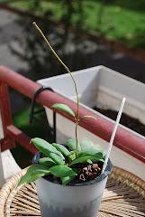 Hoya darwinii