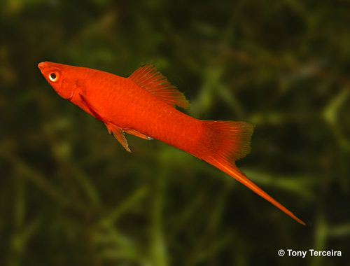 Swordtail guppy sale for sale for Archer fish for sale