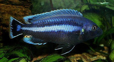 melanochromis chipokae for sale
