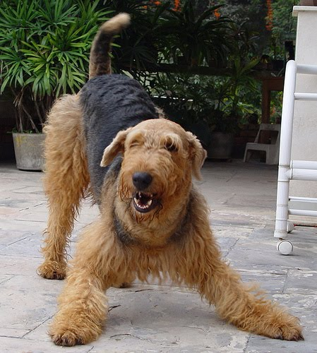 Puppies Dogs For Sale: Airedale Terrier
