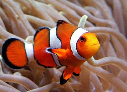 percula clownfish for sale for sale ForClown Fish For Sale
