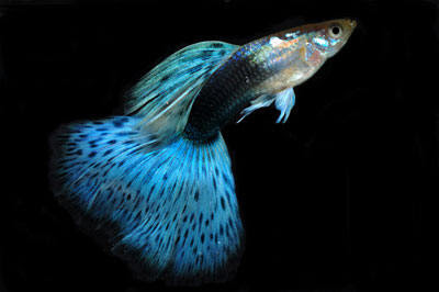 How to Breed Fancy Guppies