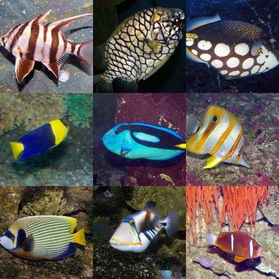 Black Goldfish Types Saltwater Fish Species...