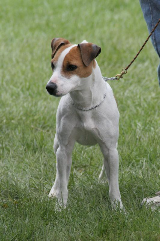 Jack Russell Terrier ~ Popular Dog Breeds
