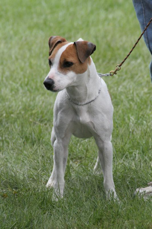 Jack Russell Terrier ~ Popular Dog Breeds