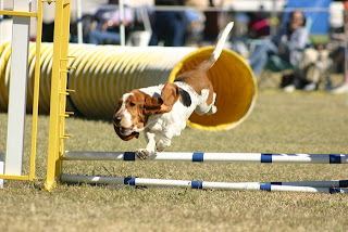 Basset Hound Popular Dog Breeds