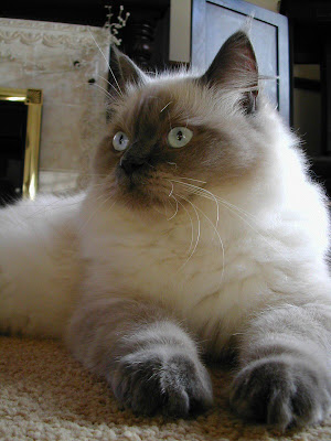 Ragdoll Cat Popular Cat Breeds