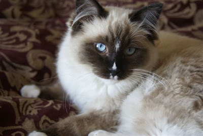 Ragdoll Cat Photos