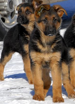 GSD German Shepherd Dog puppy