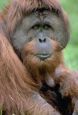 Orangutans Primates Images