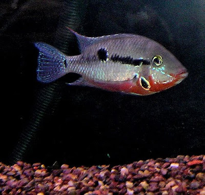 Firemouth Cichlid Tropical Fish